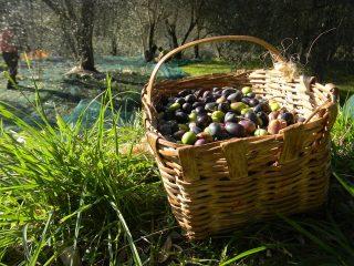 olive taggiasche alberti