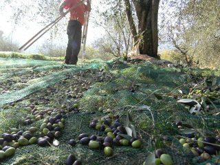 olive alberti