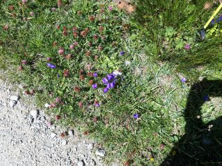 colle di nivolet, flora