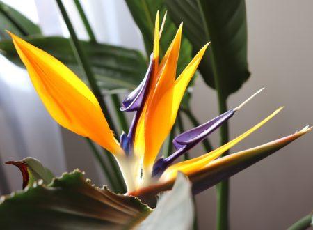Strelitzia, come coltivarla per regalarti meravigliosi fiori