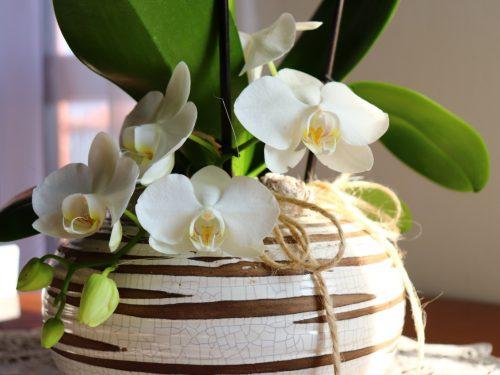 Come curare la Phalaenopsis per farla durare nel tempo e rifiorire